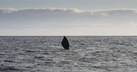 baleen whale: Southern Right Whale, seen at Purto Pyramides, Patagonia, Argentina. Stock Photo