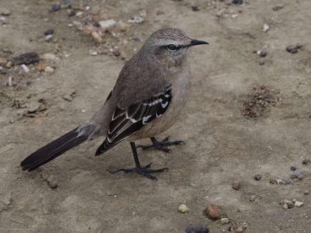 mocking: Patagonian Mocking Bird (Mimus patagonicus)