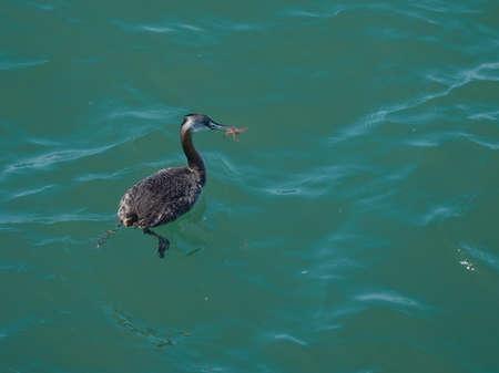 botas altas: Somormujo, Podiceps major. Visto en la naturaleza en Puerto Madryn Argentina. Foto de archivo
