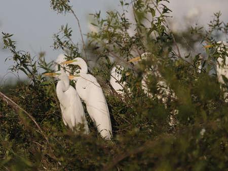 egrets: Wild flock of great egrets seen in Ibera wetlands, Argentina