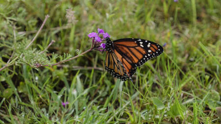 north american butterflies: The monarch butterfly  (Danaus plexippus) perched on a pink  fower