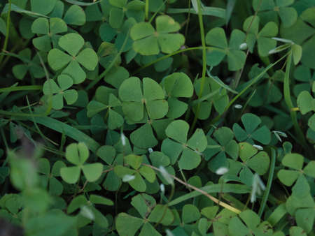four leaved: Lucky four leaved clover growing wild in Argenina Stock Photo