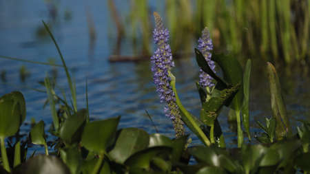 lake argentina: Aquatic plants flowering in a lake in Argentina