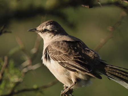 Patagonian Mockingbird Calandria Mora Perched In Bush