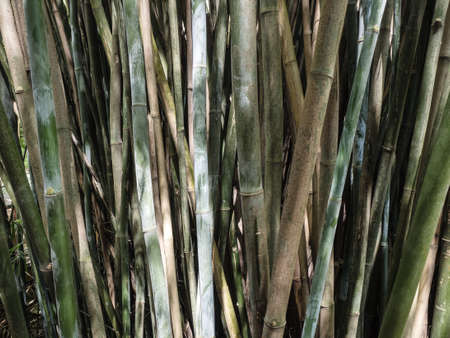 reed stem: A large clump of bamboo canes in growth Stock Photo