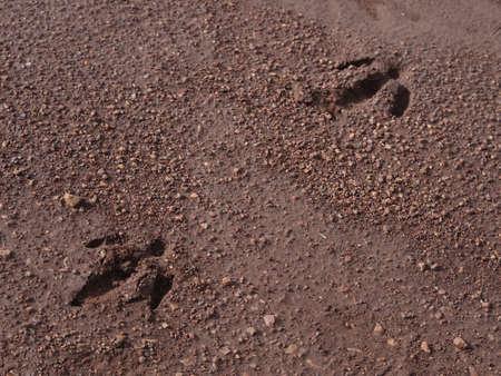 spoor: Tracks of wild Capybara in Argentina