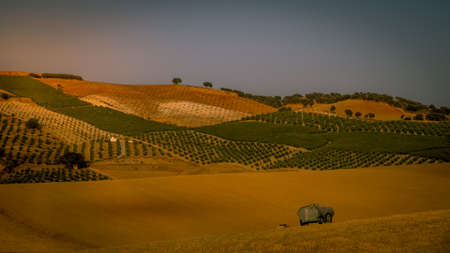 southern: A beauitiful landscape view of a golden cornfield in Andaluicia Southern Spain