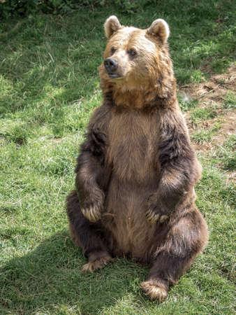 Eurasian Brown Bear sitting upright