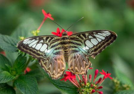 Blue Clipper Butterfly, Parthenos Sylvia Lilacinus