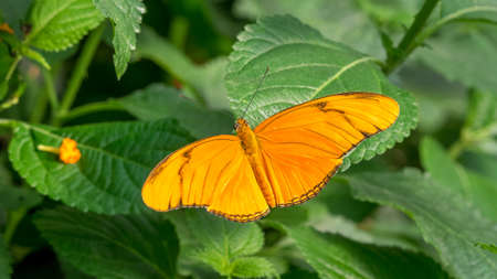 Flambeau butterfly pair, Dryas Iulia