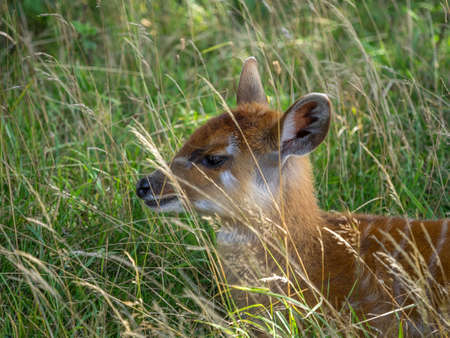 Baby Nyala antelope hiding in grass Stock Photo