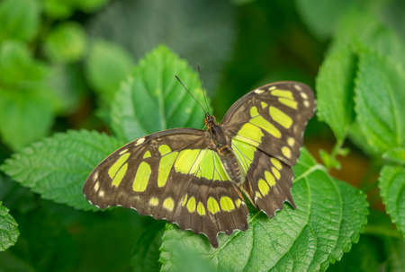Malachite Butterfly, Siproeta Stelenes, at rest Stock Photo