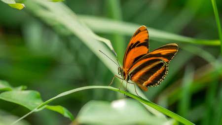 Banded Orange Butterfly, dryadula phaetusa Stock Photo