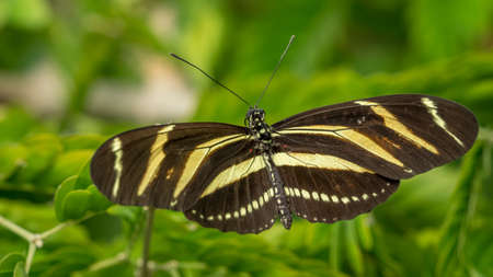 Zebra Longwing butterfly, Heliconius Charithonia Stock Photo