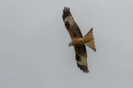 scavenger: Red Kite (Milvus Milvus) in flight seen in the UK. Stock Photo
