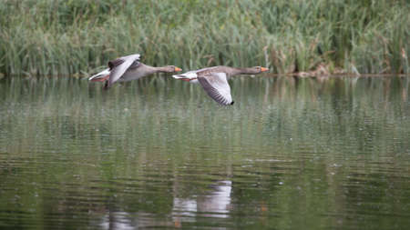 anser: Greylag goose (Anser anser) on takeoff from river in UK