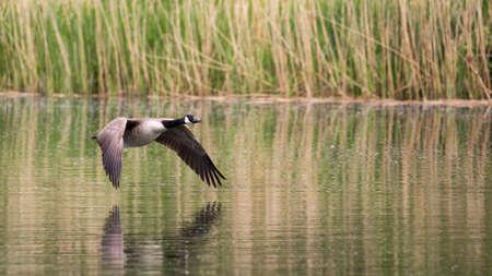 Canada Goose (Branta canadensis) in flight over river