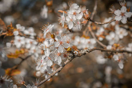 Early spring cherry blossom Stock Photo