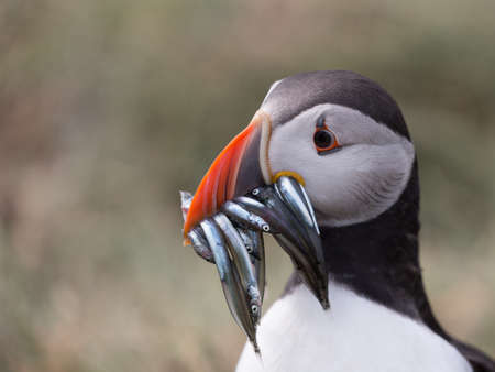 Atlantic Puffin (Fratercula arctica) in the wilds of coastal Northern UK Banco de Imagens - 83603689