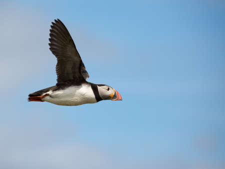 Atlantic Puffin (Fratercula arctica) in the wilds of coastal Northern UK Reklamní fotografie - 83603708