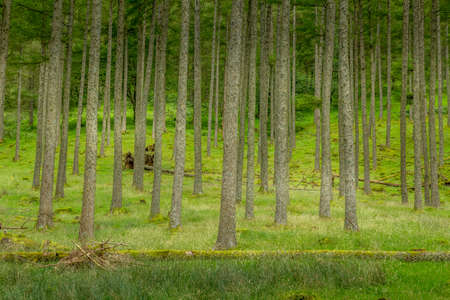 A view of the conifer trees in a woodland coppice