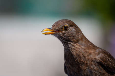 Common Blackbird chick (Turdus merula)
