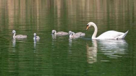 Mute swan (Cygnus olor) with cygnets swimming in UK inland lake.