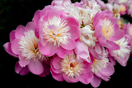 Beautiful display of pink and cream Peony flowers Stock Photo