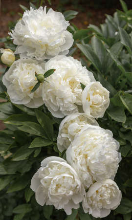 Beautiful display of cream Peony flowers