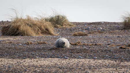Common and grey seals at Blakeney Point Norfolk UK during February 2018