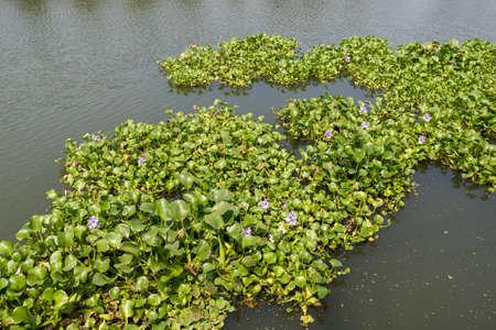 Giacinto d'acqua, specie invasore a Kochi, in India, che rischia di ostruire i corsi d'acqua Archivio Fotografico