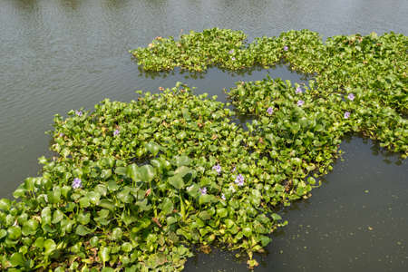 Water  hyacinth, invading species in Kochi, India which is in danger of clogging waterways Banque d'images - 104599644