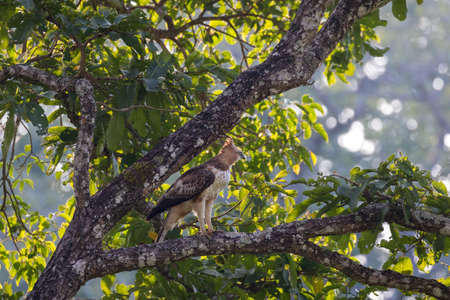 Changeable hawk-eagle or crested hawk-eagle (Nisaetus cirrhatus) is a bird of prey species of the family Accipitridae. Bred mainly in the Indian subcontinent, this one seen in the Wayanad Jungle, Indi