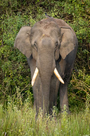 Single wild asian elephant in the Wayand Forest, India