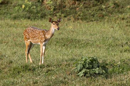 Single wild spotted deer standing in meadow, Kerala, India 版權商用圖片