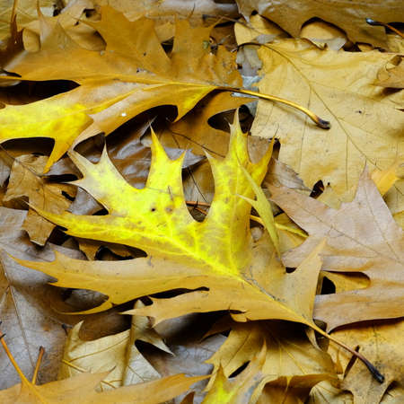 autumn leafs: autumn leafs 3 Stock Photo