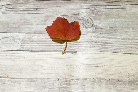 white wood: autumn leaf on white wood