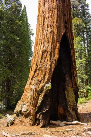 giant sequoia with fire scar  Standard-Bild