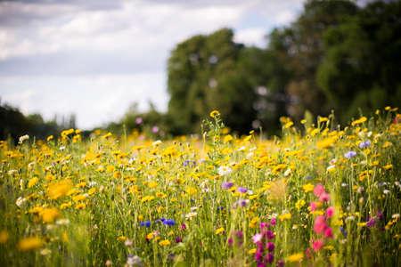 flowering field: field flowers