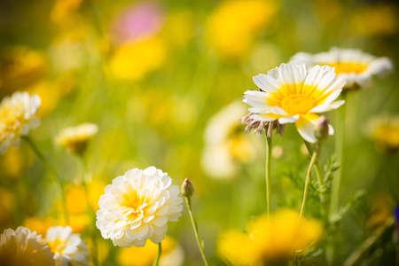 champ de fleurs: champ de fleurs Banque d'images