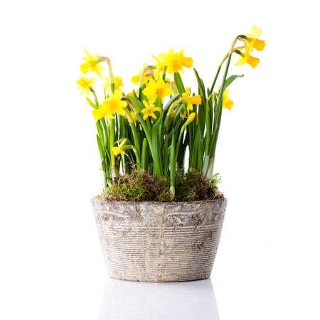 Narcissen in een bloempot Stockfoto