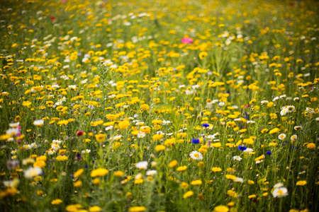 flowering field: field of daisies