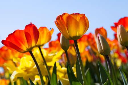 Champ de tulipes Banque d'images - 37642641