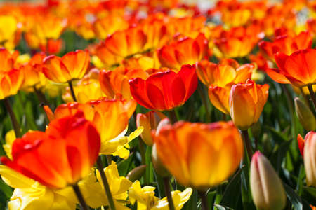 acknowledgment: field of tulips