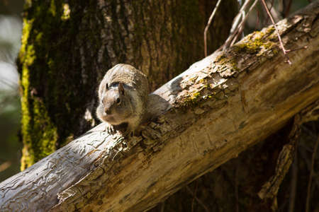 and diurnal: california ground squirrel Stock Photo