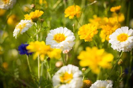 flowering field: wild field of flowers