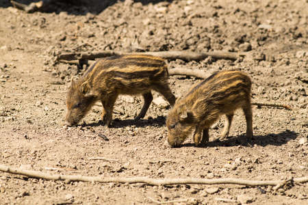two young boars looking for food