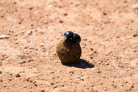 Dung beetle on a rolled ball of fresh animal dung on which it feeds and lays its eggs on dry earth in sunshine Reklamní fotografie