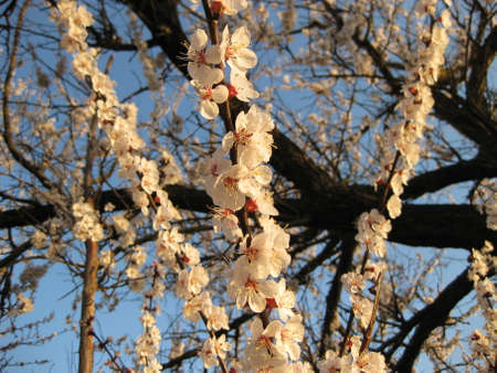 blossoming: Blossoming of an apricot