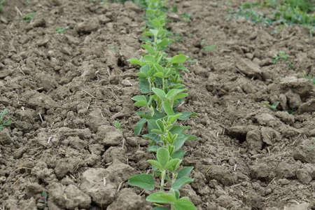 kuban: Soy field. Cultivation of soy in an open ground on fields of Kuban.